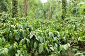 picture of karnataka  - A coffee plantation in Coorg - JPG
