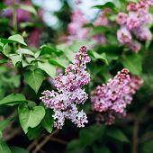 foto of lilac bush  - Lilac syringa in the garden A lilac bush with many fragrant purple flowers - JPG