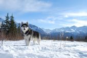 image of winter landscape  - Siberian Husky in a rural winter landscape.
