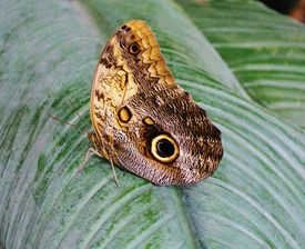 image of hughes  - Close up of beautiful Owl butterfly with Hugh eyespots - JPG