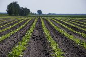 foto of sugar industry  - Plantation of sugar beet. Preparing for the harvest.
