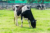 pic of cow  - dairy cow in farm cows grazing in fresh pastures background nature - JPG