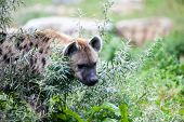 picture of hyenas  - a hyena looking through the shrubs in the wilderness - JPG