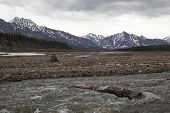 picture of denali national park  - A log floats the Teklanika River in Denali National Park - JPG