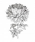 pic of chrysanthemum  - Hand - JPG