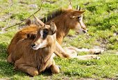 image of antelope  - Two young sable antelopes lying on the ground - JPG