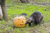 picture of wolverine  - Wolverine (Gulo gulo) is playing and eating a Halloween pumpkin