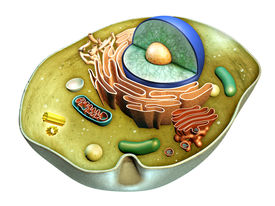 picture of lysosome  - Internal structure of an animal cell - JPG
