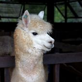 pic of alpaca  - closeup of lovely alpaca in the farm - JPG