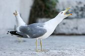 stock photo of shout  - A side view of a seagull with open mouth shouting and standing on concrete floor - JPG