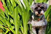 picture of schnauzer  - Giant schnauzer dog for adv or others purpose use - JPG