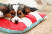picture of fluffy puppy  - Portrait Little puppy dog breed papillon close - JPG