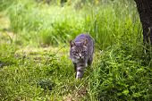 picture of bobcat  - Bobcat walking in a forest - JPG