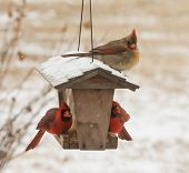 pic of cardinal-bird  - Female Northern Cardinal sitting on top of a bird feeder in snowfall - JPG