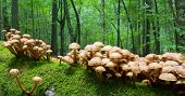 foto of fungus  - Bunch of autumnal Honey Fungus grows over mossy stump - JPG
