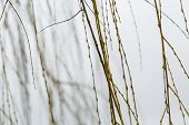 image of weeping willow tree  - Willow branches at springtime without leaves at bad weather