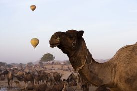 foto of camel-cart  - Camels with hot air balloons in the background in Pushkar Camel Fair - JPG
