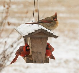 picture of cardinal-bird  - Female Northern Cardinal sitting on top of a bird feeder in snowfall - JPG