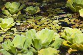 stock photo of wetland  - Green Frog in a wetland in botanical garden - JPG