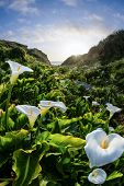 pic of calla  - beautiful landscape in the California coast with a river of calla lilies showing the way to the setting sun - JPG