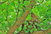 pic of brown thrush  - Song thrush nest made  - JPG