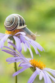 stock photo of garden snail  - Garden snail sits on a violet daisy - JPG