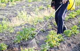 picture of pesticide  - Spraying pesticide of potatoes leaves in the garden - JPG