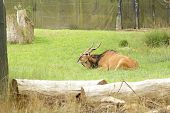 stock photo of eland  - Photo of a single eland lying on the grass in zoo - JPG