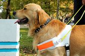 stock photo of seeing eye dog  - Close up shot of assistant dog - JPG