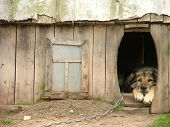 picture of dog-house  - lonely dog watching out of his kennel - JPG