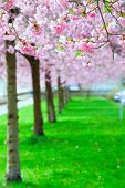 Cherry blossoms in the city Park. Pink Blossoms in Central Park Landscape poster