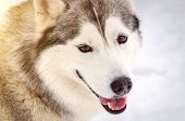 Sled Dog Siberian Husky Breed Looks Around. Husky Dog Has Black And White Fur Color. Snowy White Bac poster
