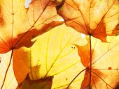 Fallen Autumn Maple Leaves On The Lumen. Texture. poster