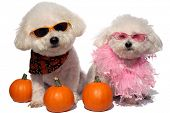 Beau and Fifi both Bichon Frises isolated on white