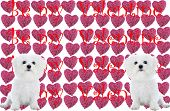 Twin purebred bichon frise's, sits infront of a pattern of heart shaped pink roses with