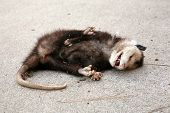 stock photo of opossum  - a dead opossum on a sidewalk - JPG