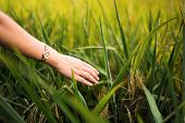 Female Hand Touching Rice Field Plants Close Up poster