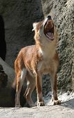 Dhole also known as a red dog or an Asian wild dog (Cuon alpinus). poster