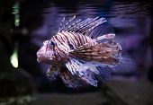 Devil firefish also known as a Devil lionfish (Pterios miles) poster