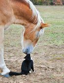 image of gentle giant  - Horse and a tiny cat  - JPG