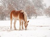foto of gentle giant  - Frosty Belgian Draft horse picking hay in snow on a cold foggy winter day - JPG