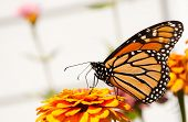 Migrating Monarch butterfly feeding on a Zinnia flower to replenish his energy supply