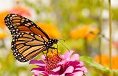 Monarch butterfly, Danaus plexippus, restoring its energy supply for migration by feeding on a brigh