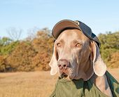 Comical image of a Weimaraner dog wearing a sheriff's cap and a bullet proof vest, looking like he's