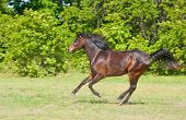 image of arabian horse  - Beautiful dark bay Arabian horse galloping across a green summer pasture - JPG