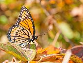 Colorful Limenitis Archippus, Viceroy butterfly resting on an autumn Blackberry leaf