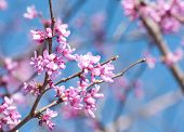 stock photo of judas  - Eastern Redbud flowering in early spring - JPG