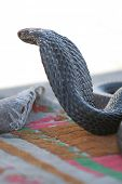 picture of king cobra  - One of most dangerous snake in the world  - JPG