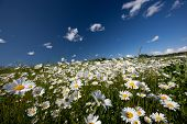 foto of hayfield  - Hayfield with daysies - JPG