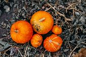Ripe Orange Pumpkins With Vine At The Field In Autumn poster